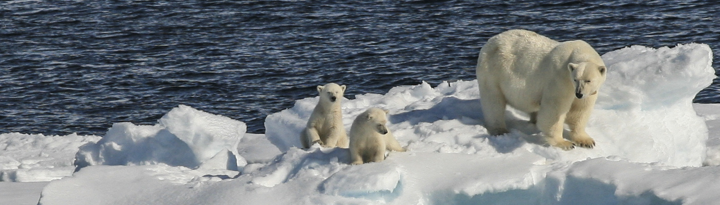 polar bears in the arctic expedition cruise