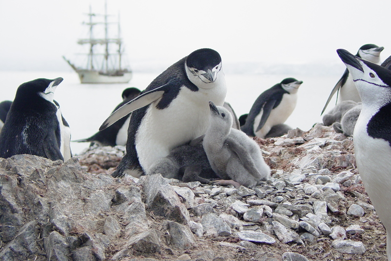 Penguin chicks, Bark Europa tall ship, Antarctica cruise