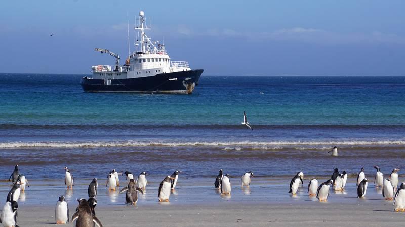Gentoo penguins, Hans Hansson, Antarctica cruise
