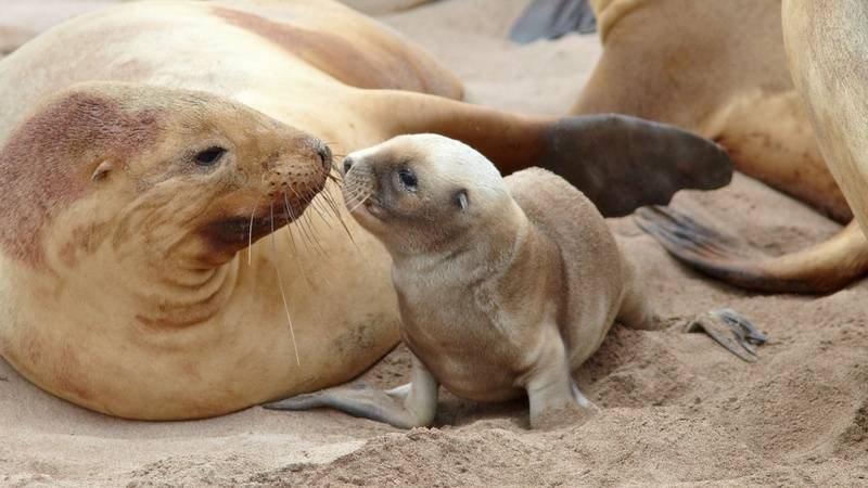 Seals sub-Antarctic islands, Antarctica cruise from New Zealand