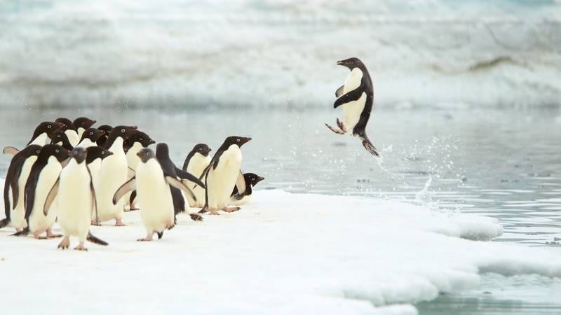 Adelie penguins, Antarctica cruise from New Zealand