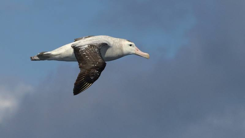 Albatross, Antarctica cruise from New Zealand