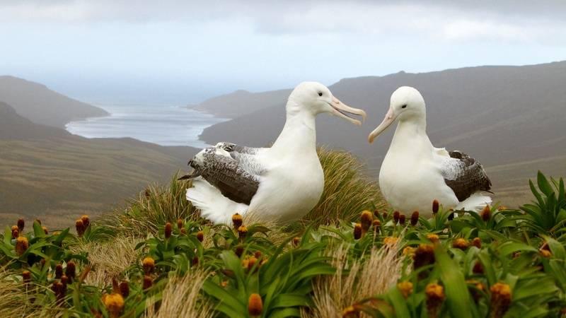 Nesting Albatross, Antarctica cruise from New Zealand