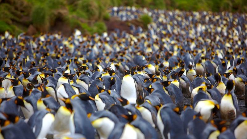 King penguins Macquarie Island, Antarctica cruise from New Zealand