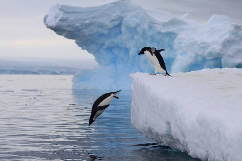 Penguins going to sea, Antarctica cruise from New Zealand