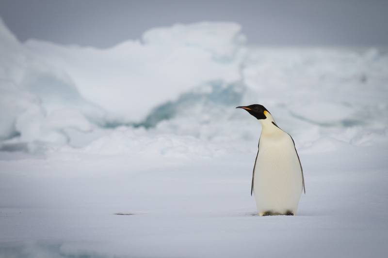 Emperor penguin, Antarctica cruise from New Zealand