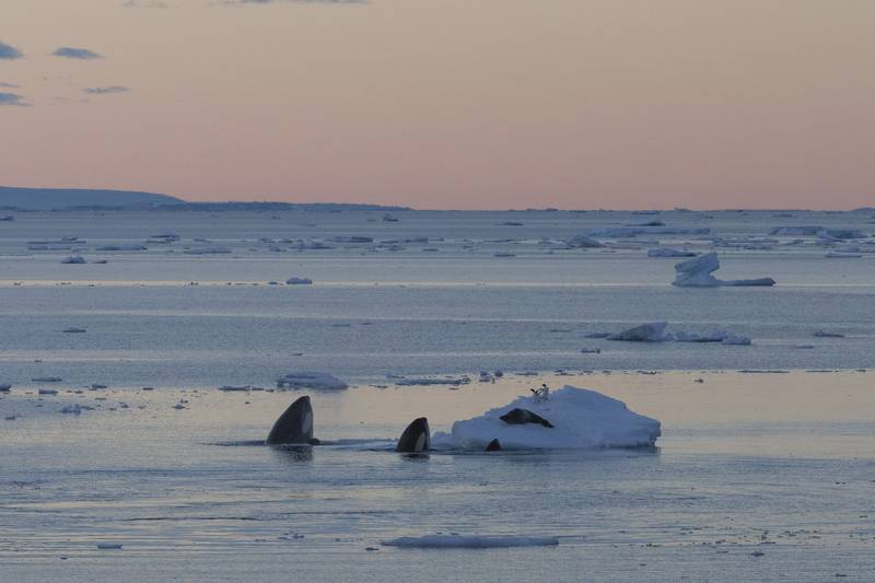 Orca hunt, Antarctica cruise from New Zealand
