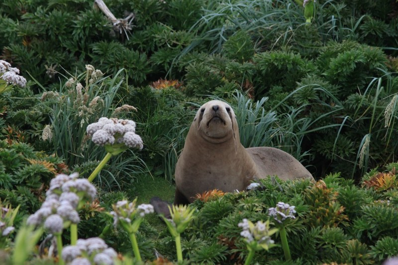 Seal in sub-Antarctic islands, Antarctica cruise from New Zealand