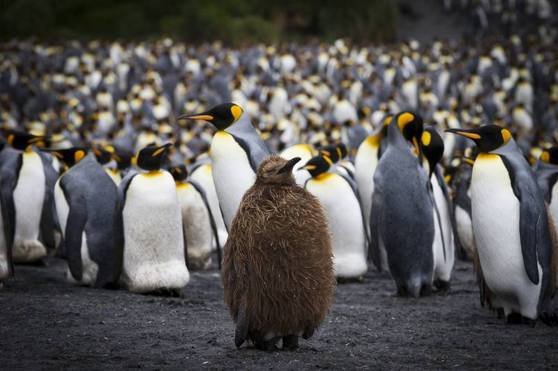 King penguin chick, Antarctica cruise from New Zealand