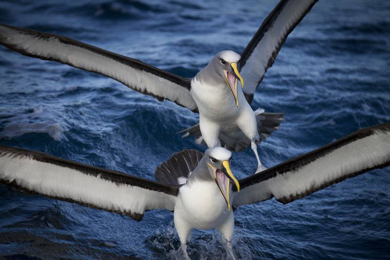 Albatross pair, Antarctica cruise from New Zealand