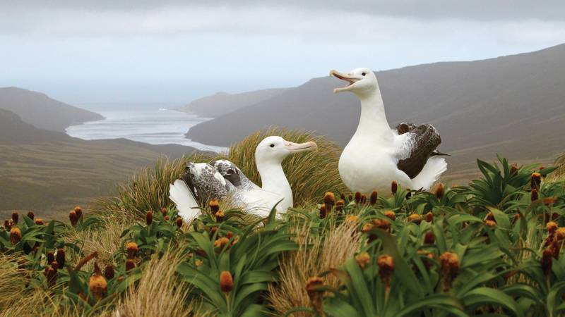 Nesting Albatross, Antarctica cruise from New Zealand
