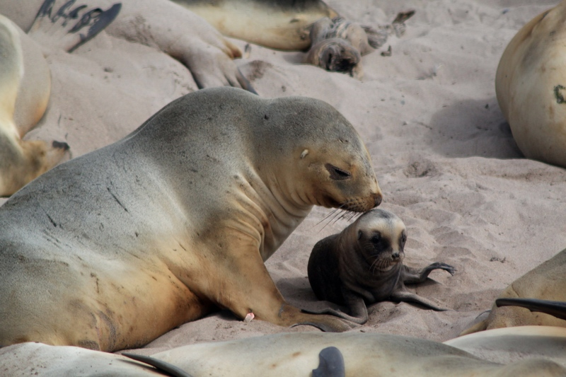 Seal with pup, Antarctica cruise from New Zealand