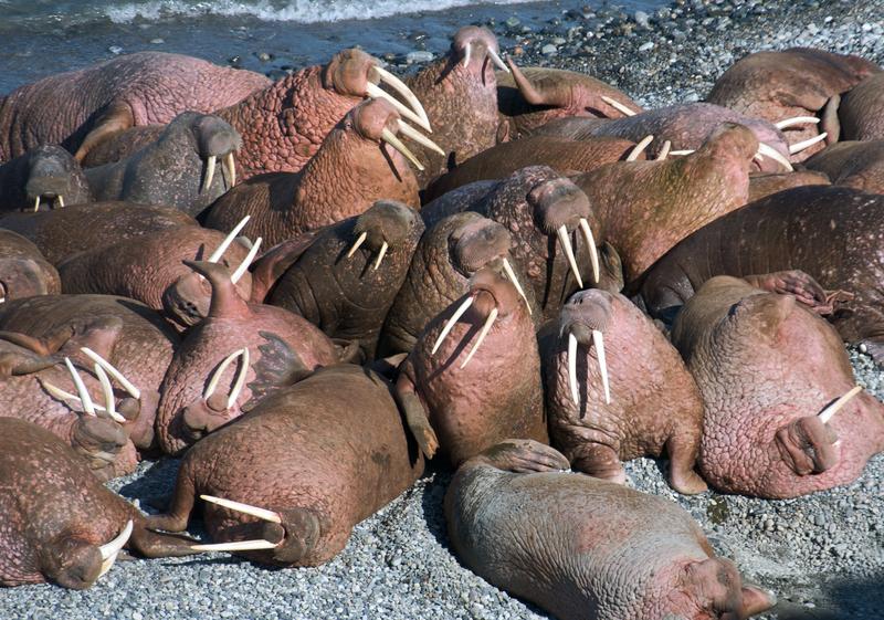 Walrus, Wrangel Island, Arctic Polar bear cruise