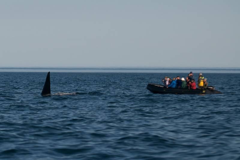 Orca, Wrangel Island, Arctic Polar bear cruise