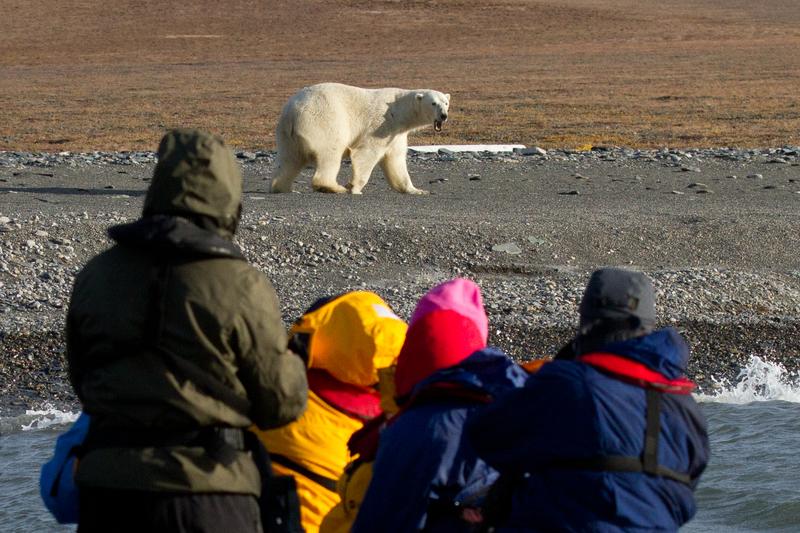 Polar bear excursion, Wrangel Island, Arctic Polar bear cruise