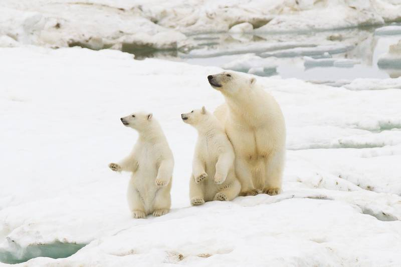 Polar bear with cubs, Wrangel Island, Arctic Polar bear cruise