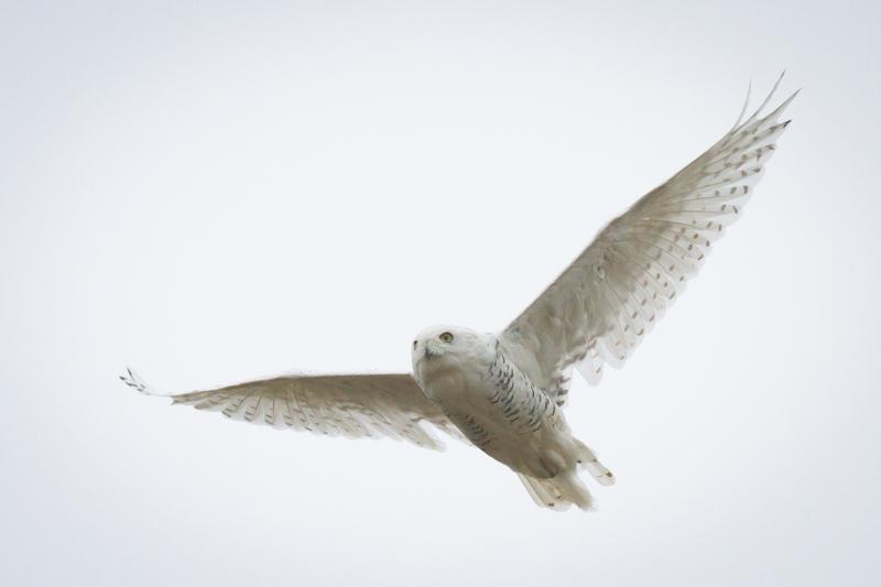 Snow owl, Wrangel Island, Arctic Polar bear cruise