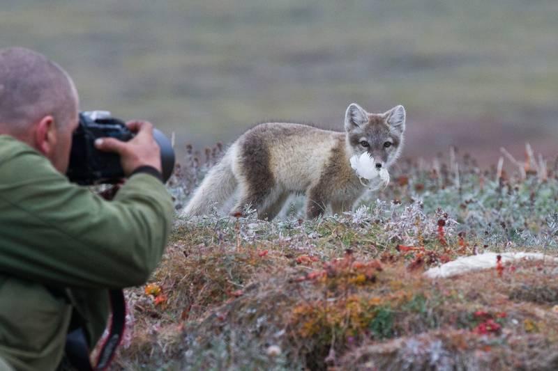Arctic fox, Wrangel Island, Arctic Polar bear cruise