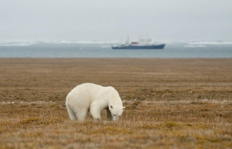 Polar bear, Wrangel Island, Arctic Polar bear cruise