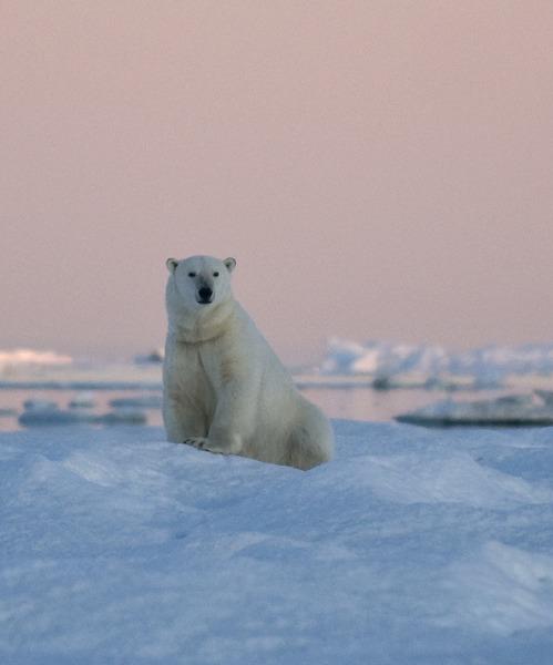 Polar bear in Wrangel Island, Arctic Polar bear cruise