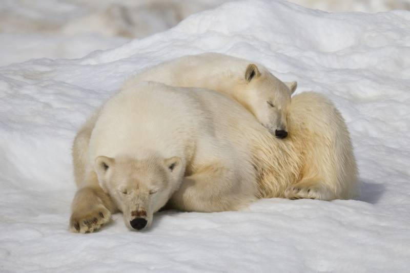 Polar bear with cub, Wrangel Island, Arctic Polar bear cruise