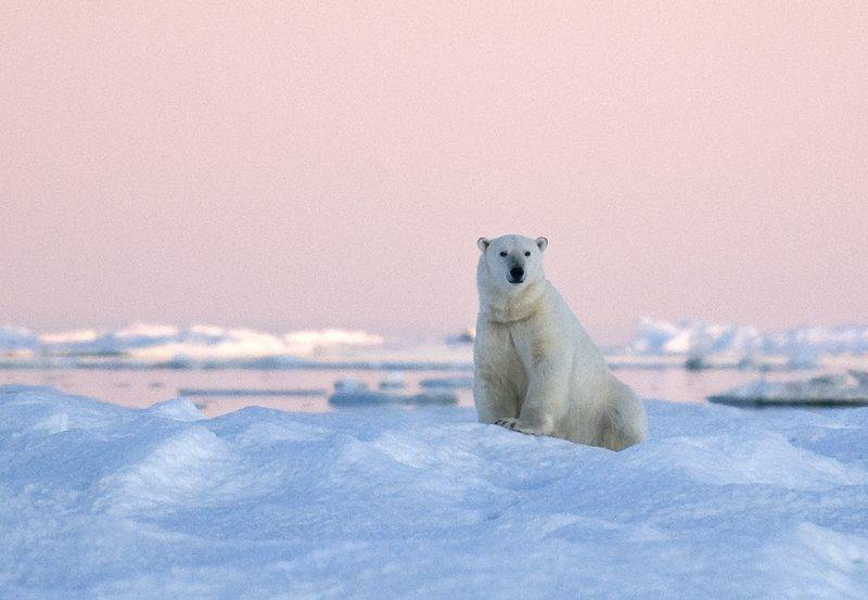 Polar bear in Wrangel Island, Arctic Polar bear cruise