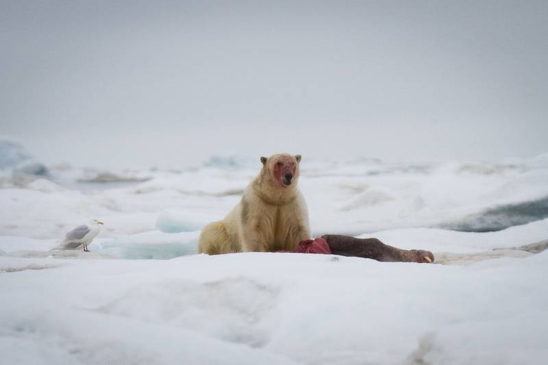 Polar bear hunt, Wrangel Island, Arctic Polar bear cruise