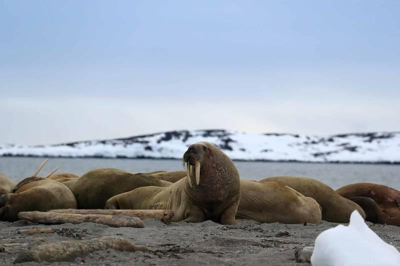 Walrus, Spitsbergen, Polar bear cruise