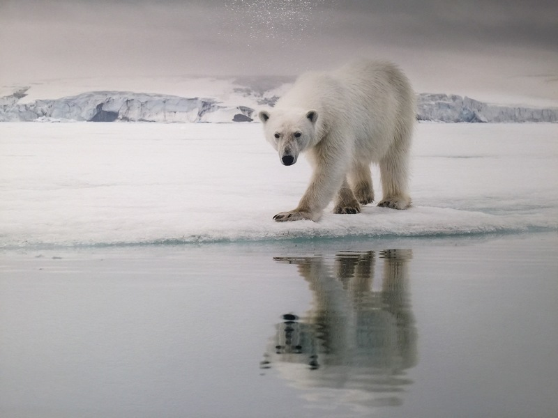 Polar bear, Spitsbergen, Arctic Polar bear cruise