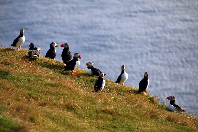 Puffins on hill, Arctic cruise