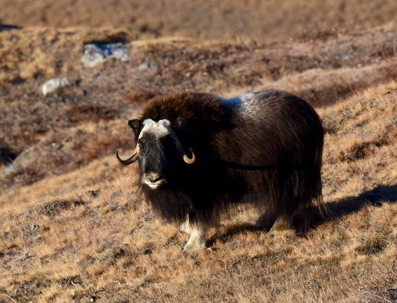 Musk Ox, Northwest passage cruise