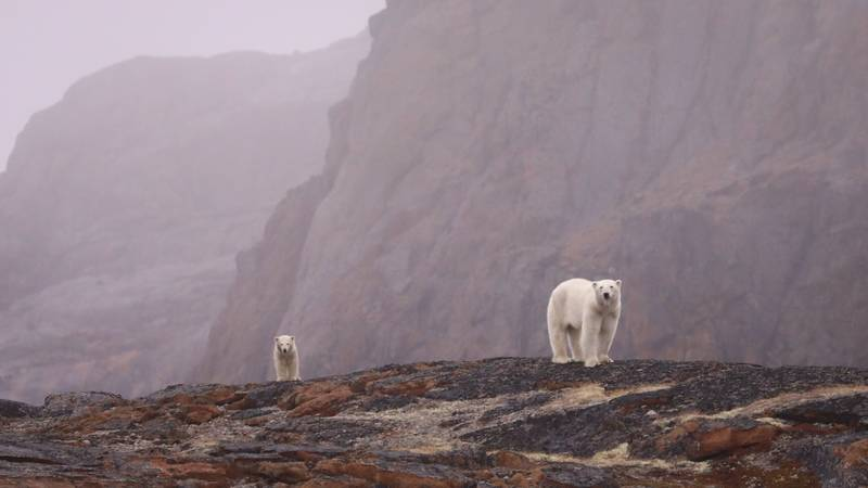 Polar bear and cub, Northwest passage cruise