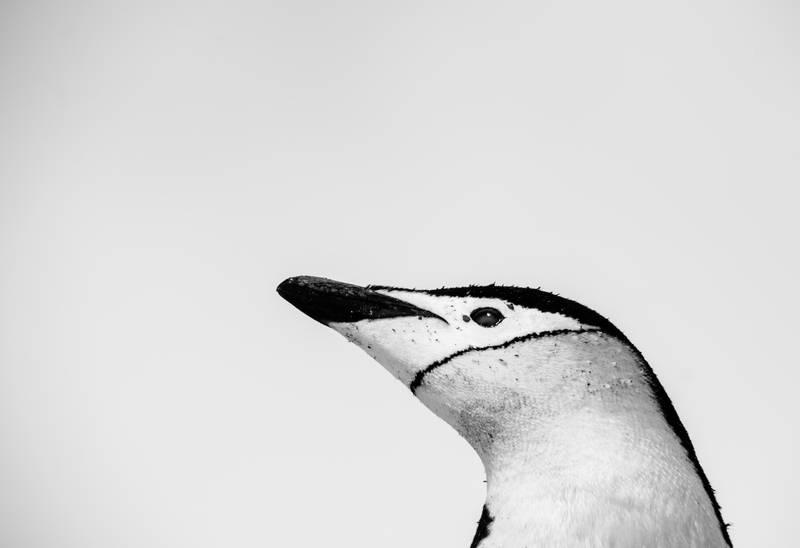 Chinstrap penguin, Antarctica cruise