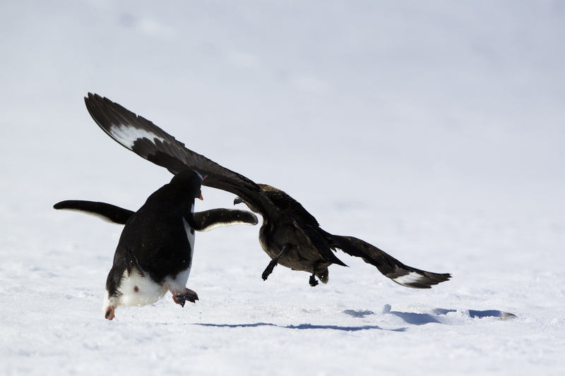 Penguin chase, Antarctica cruise