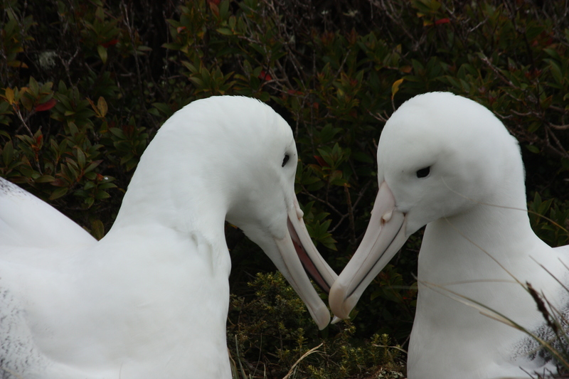 Albatross pair, Antarctica cruise