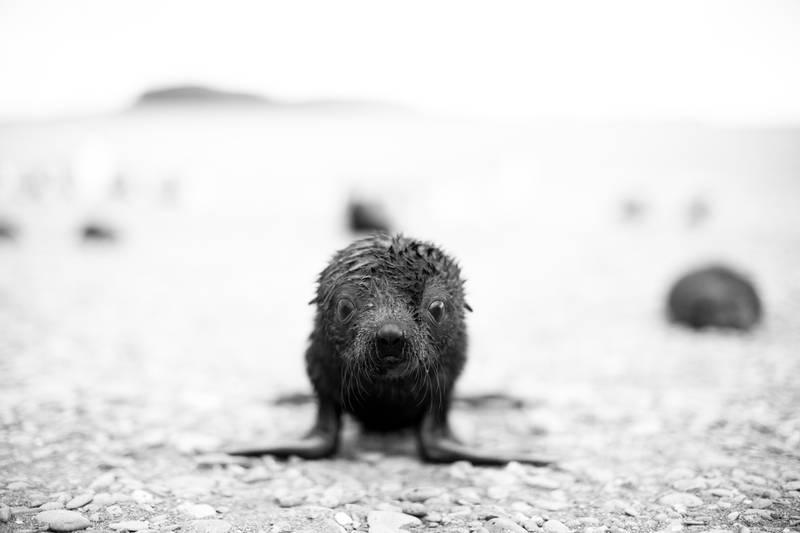 Seal pup, Antarctica cruise