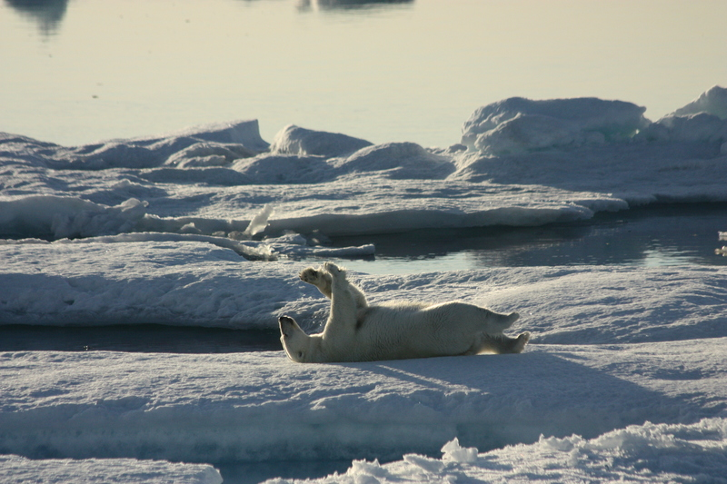 Pear bear at play, Arctic cruise