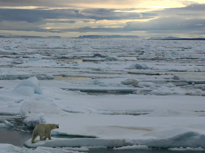 Polar bear on sea ice, Arctic cruise
