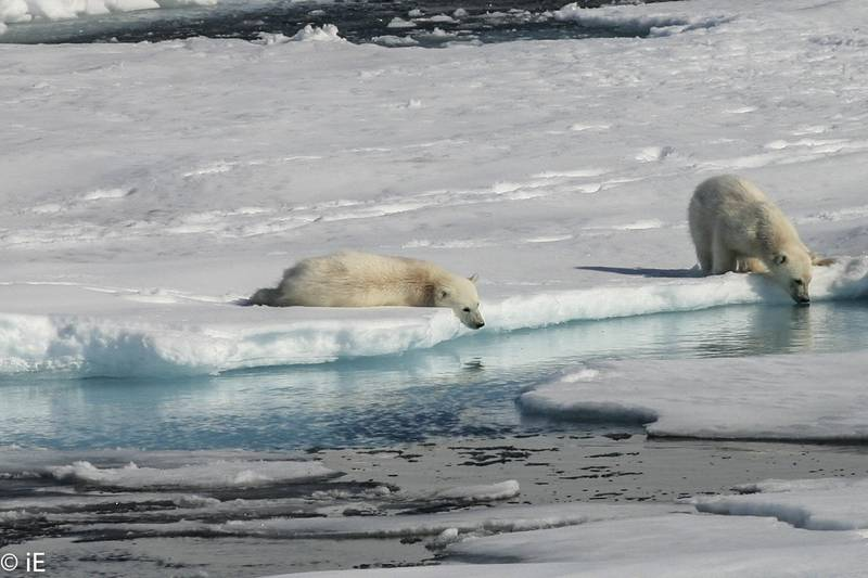 Polar bear cubs, Arctic cruise
