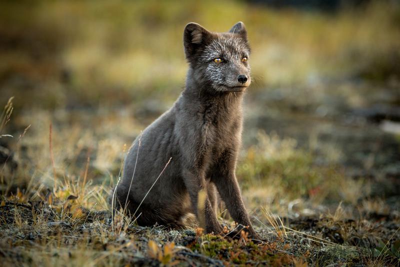 Arctic fox, Arctic cruise