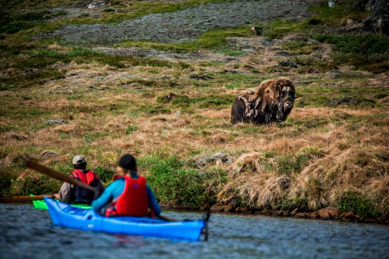 Kayaking with Musk Ox, Arctic Cruise