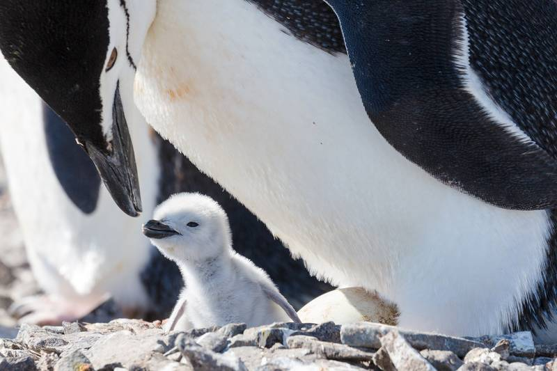 Chinstrap penguin with chick, Cruise to Antarctica