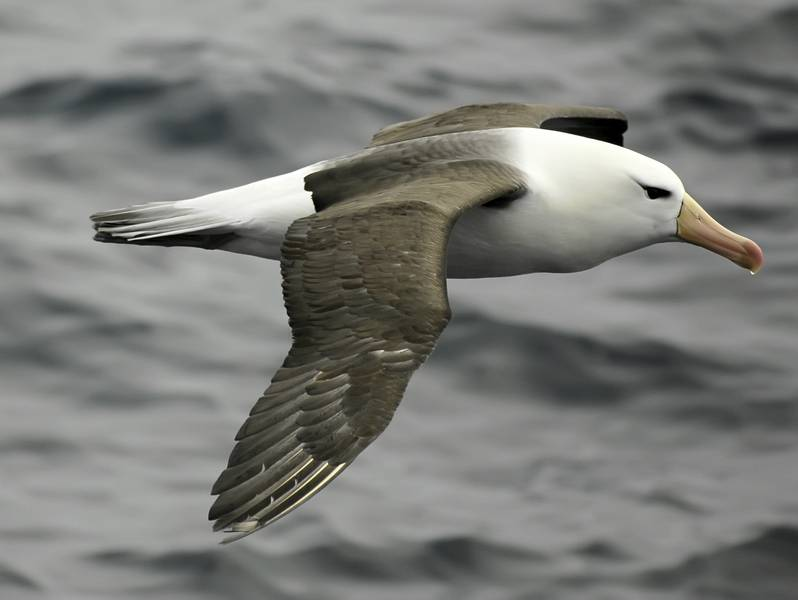 Albatross pair, Cruise to Antarctica