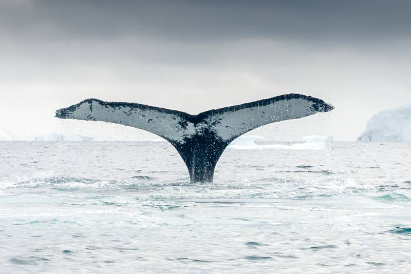 Whale fluke in Antarctica, Cruise to Antarctica