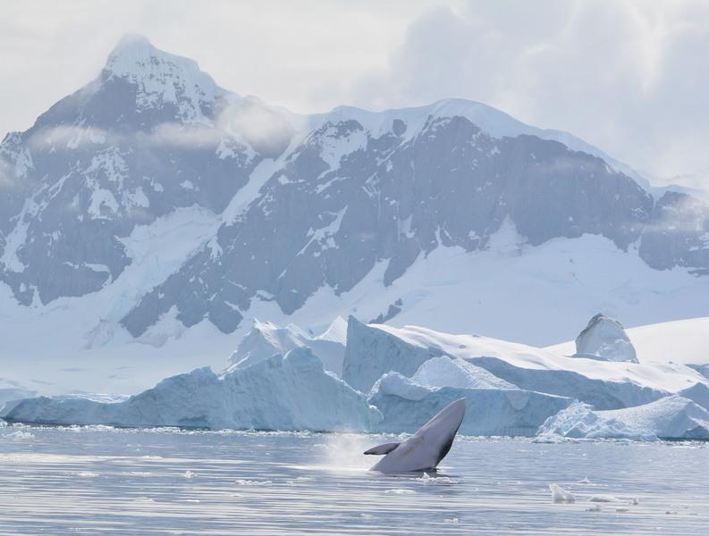 Whale in Antarctica, Antarctica cruise