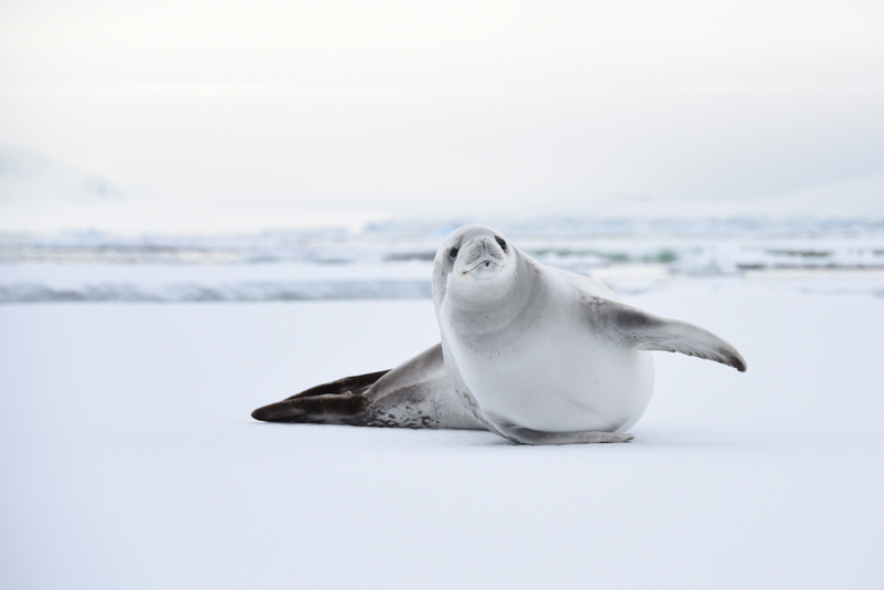 Seal, Cruise to Antarctica