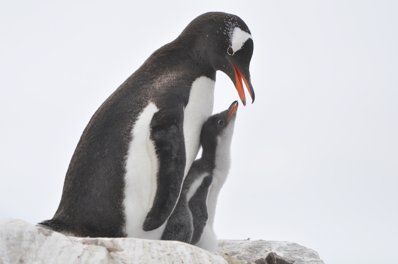 Gentoo penguin with chick, Cruise to Antarctica