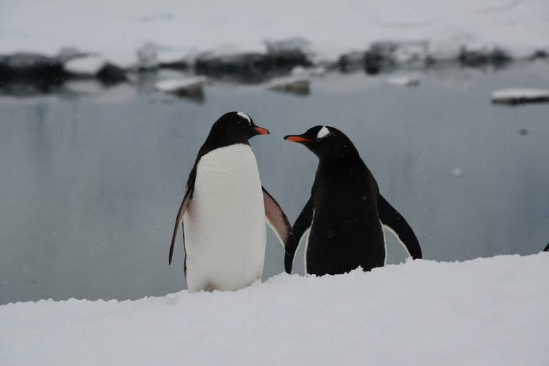 Penguin couple, Cruise to Antarctica