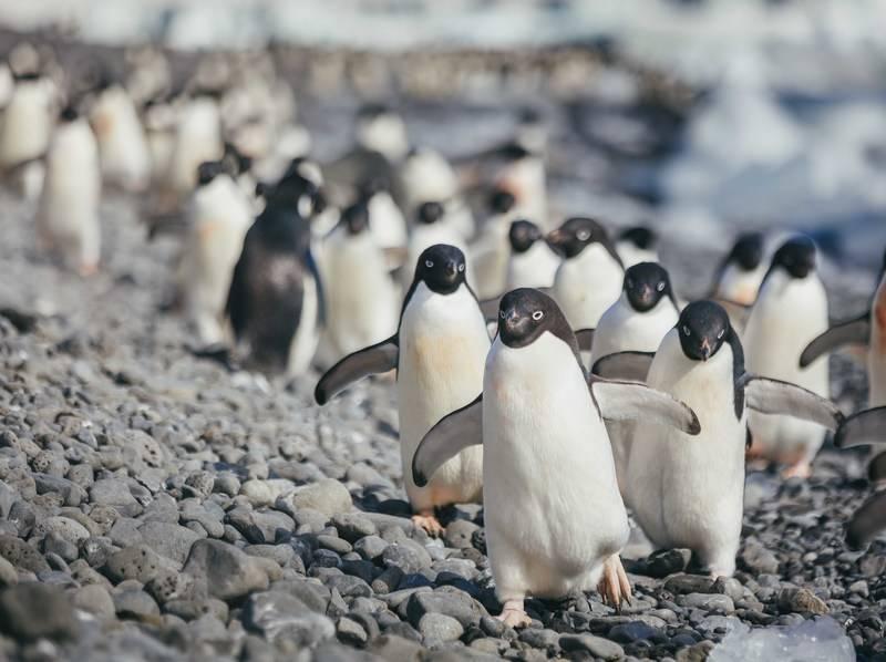 Penguins, Cruise to Antarctica