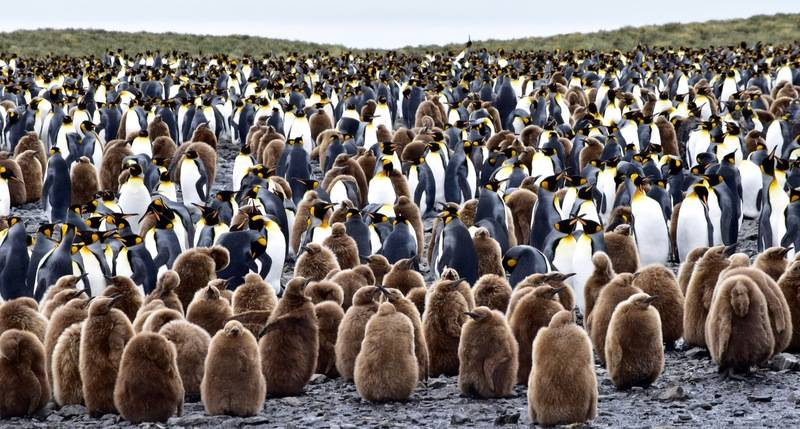 King penguin chicks, South Georgia, Cruise to Antarctica